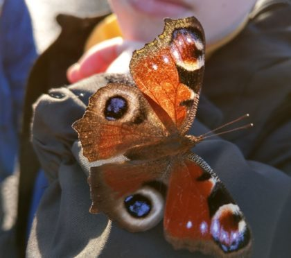 The peacock butterfly spotted in Leven on January 26.