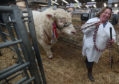 Tracey Nicoll with her champion Charolais bull Balthayock Minstrel at the Stirling Bull Sales.