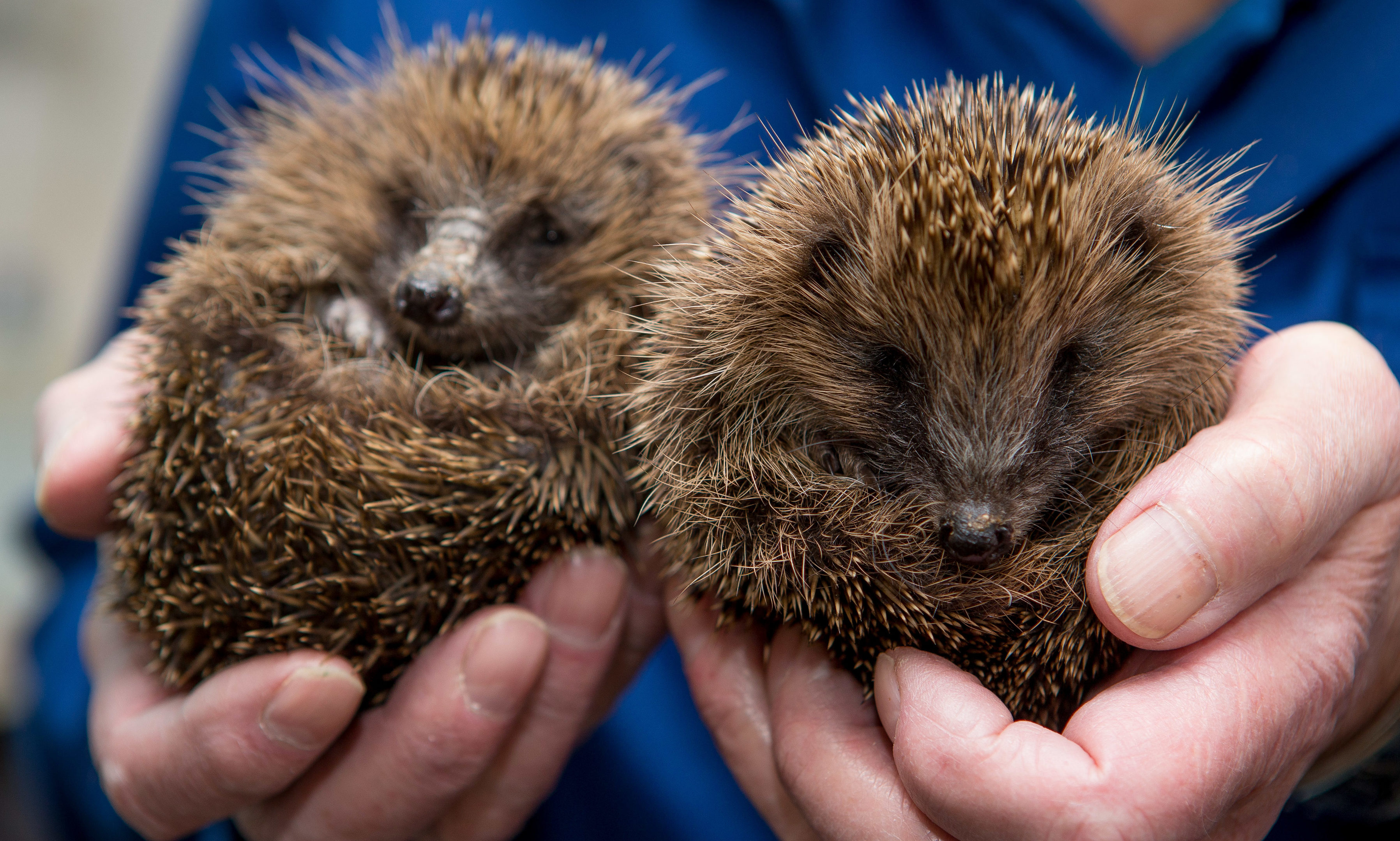 Sandy Boyd of Wormit Hedgehog Care Centre with the two youngsters