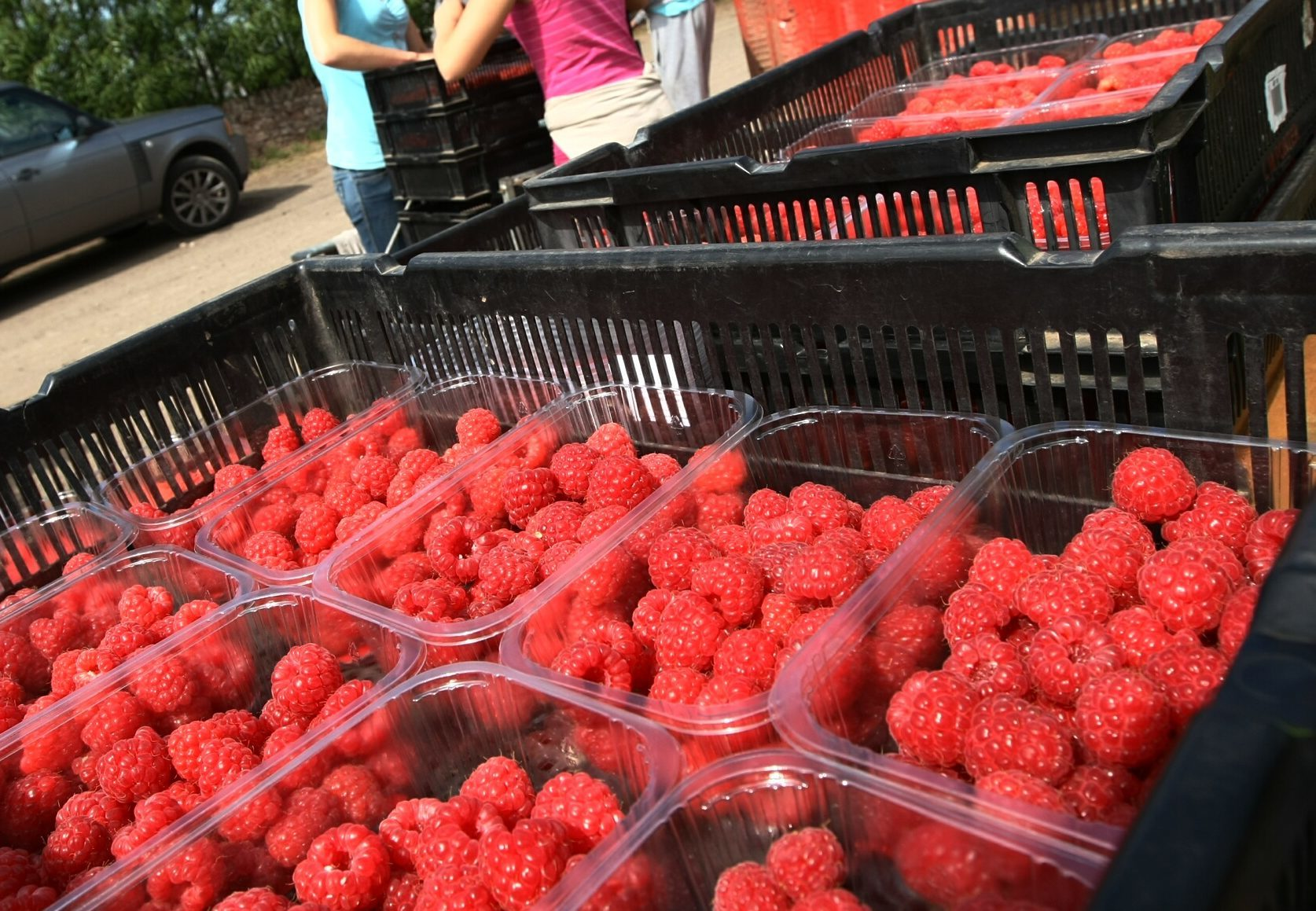 Raspberries picked in Angus, which are bound for British supermarkets.