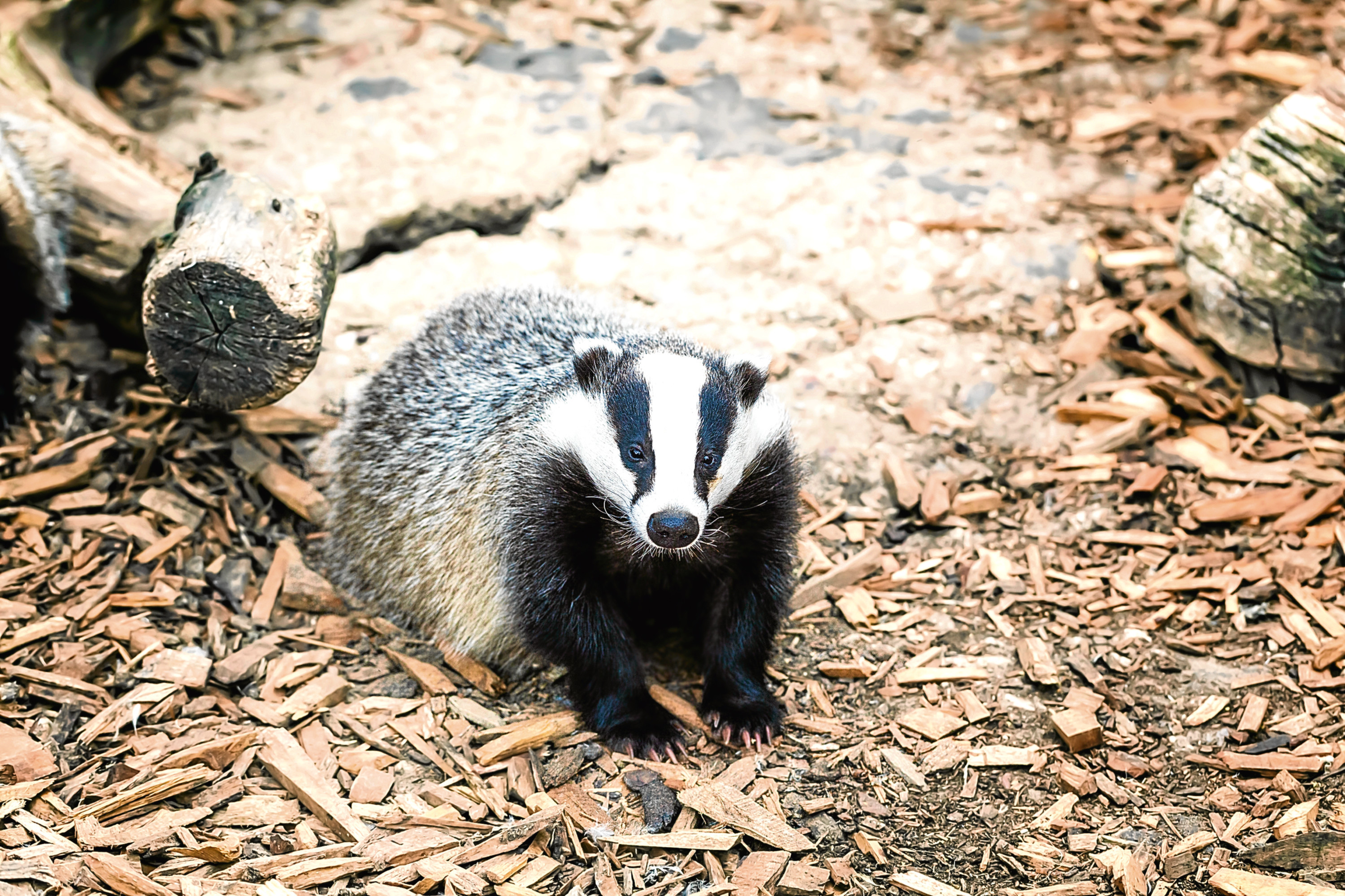 Badgers are treated appallingly by people, says Jim.