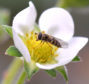 Research suggests hoverflies act as strawberry flower pollinators and natural aphid predators.