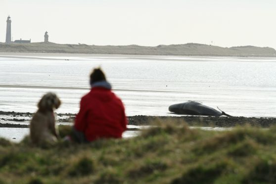 The whale on Monifieth Beach, near Buddon Ness today.