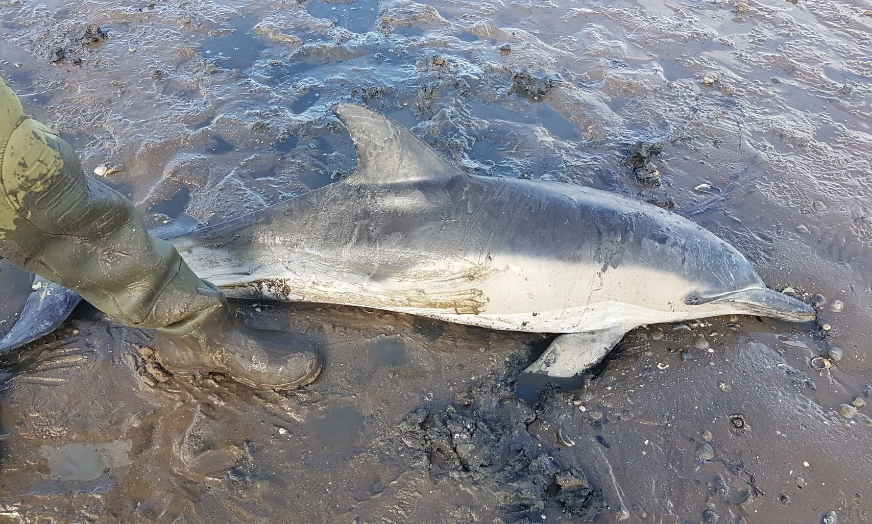 The young dolphin was stretchered back into the sea on a jacket