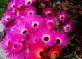Livingston daisies