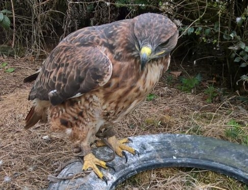 Amber the red-tailed buzzard