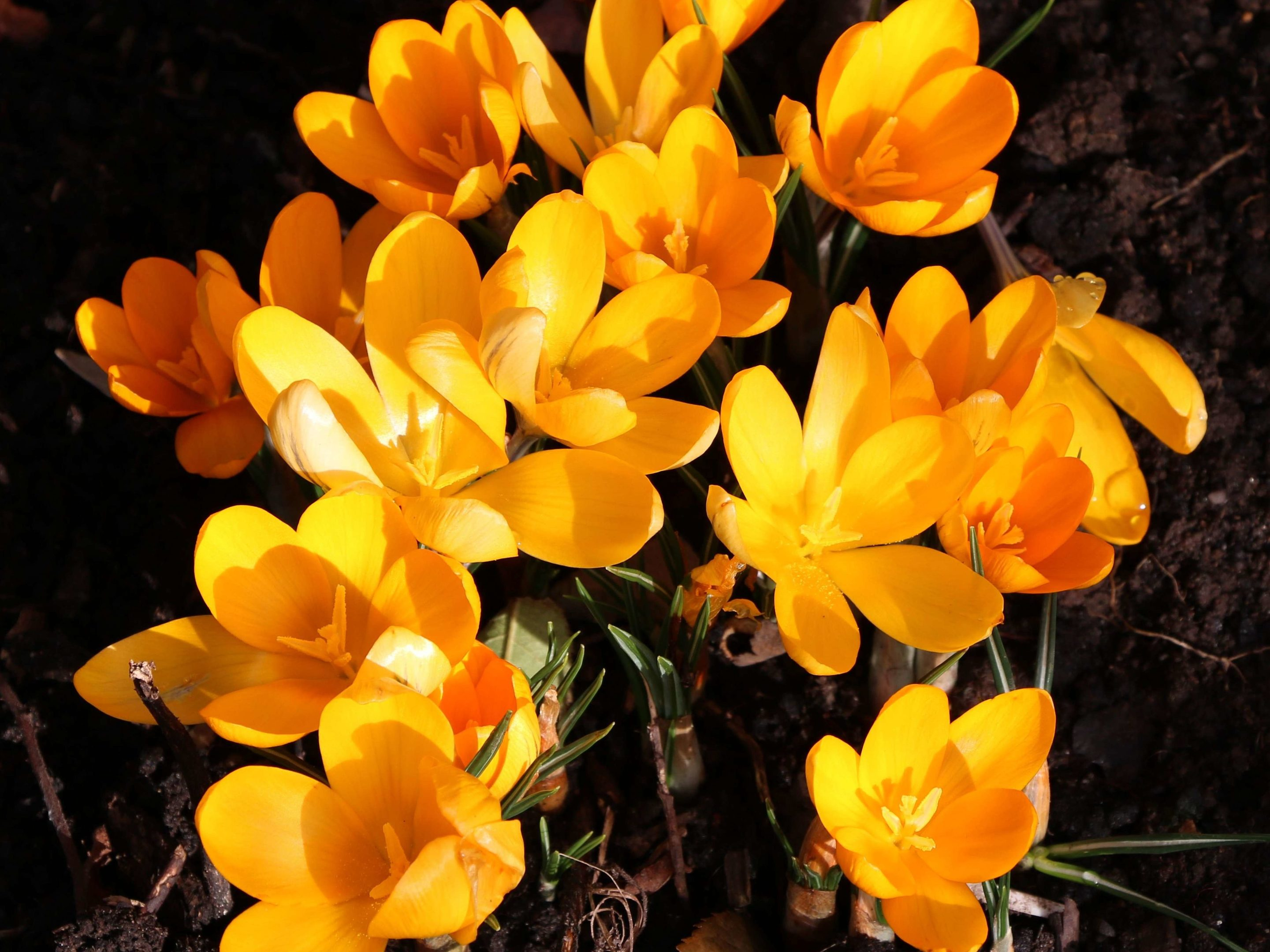 Yellow crocus in mid February