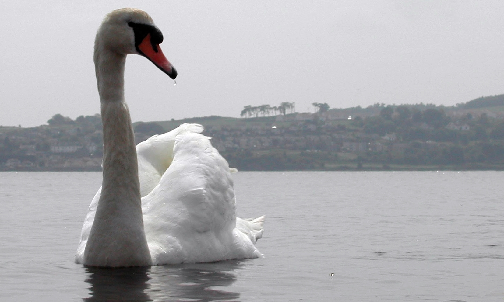 One of Broughty Ferry's much-loved swans.