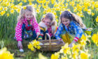Girls taking part in an Easter egg hunt in a field of daffodils.