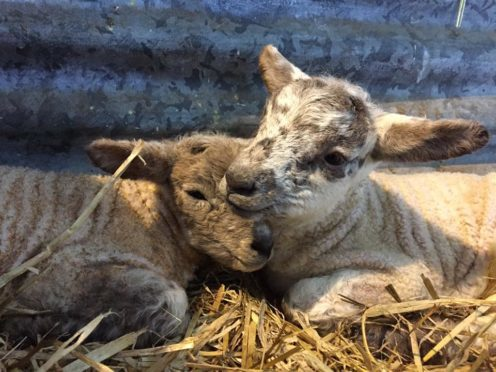 These two lambs arrived safely, indoors, at Craigduckie Farm in Dunfermline in early March