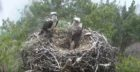 The ospreys reunited at Loch of the Lowes last year