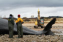 The dissection and burial of a beached whale which ended up on Monifieth beach.
