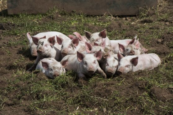 Tail biting results in pain and sickness for bitten pigs and severe economic losses for farmers.