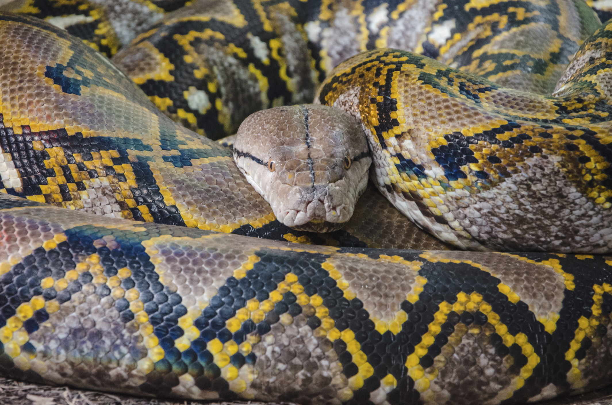 A python can use its unique patterned skin to evade predators.