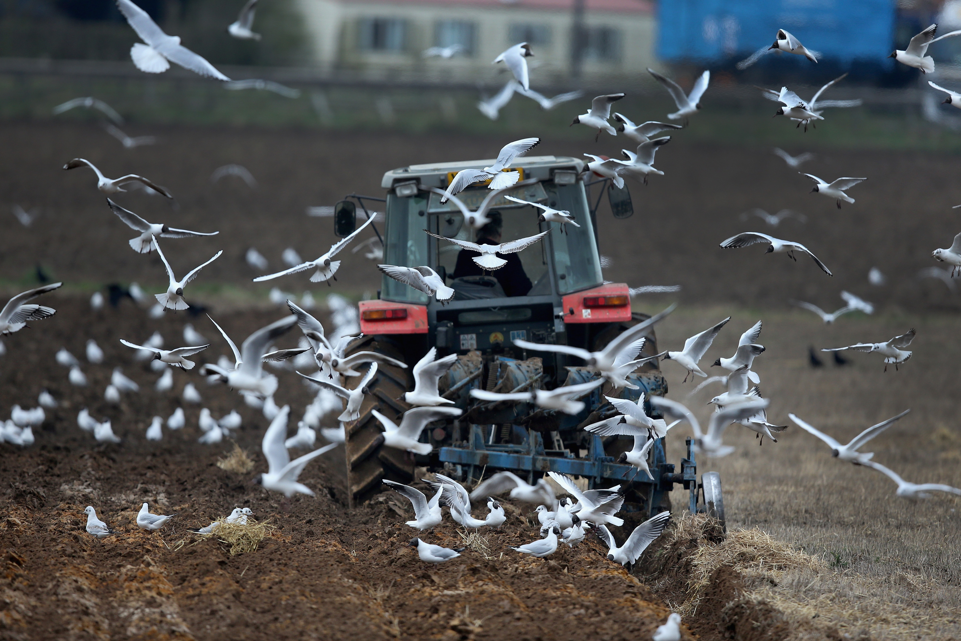 GOOLE, UNITED KINGDOM - MARCH 25:  Seagulls scavenge for food as a farmer ploughs his field in the East Yorkshire countryside on March 25, 2014 in Goole, United Kingdom.  (Photo by Christopher Furlong/Getty Images)