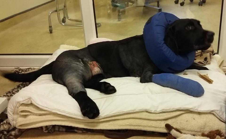 Baxter after some of his surgery.