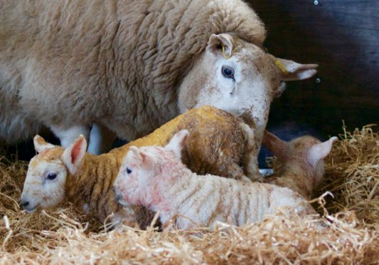 The lambing season is under way for most Scottish farmers.