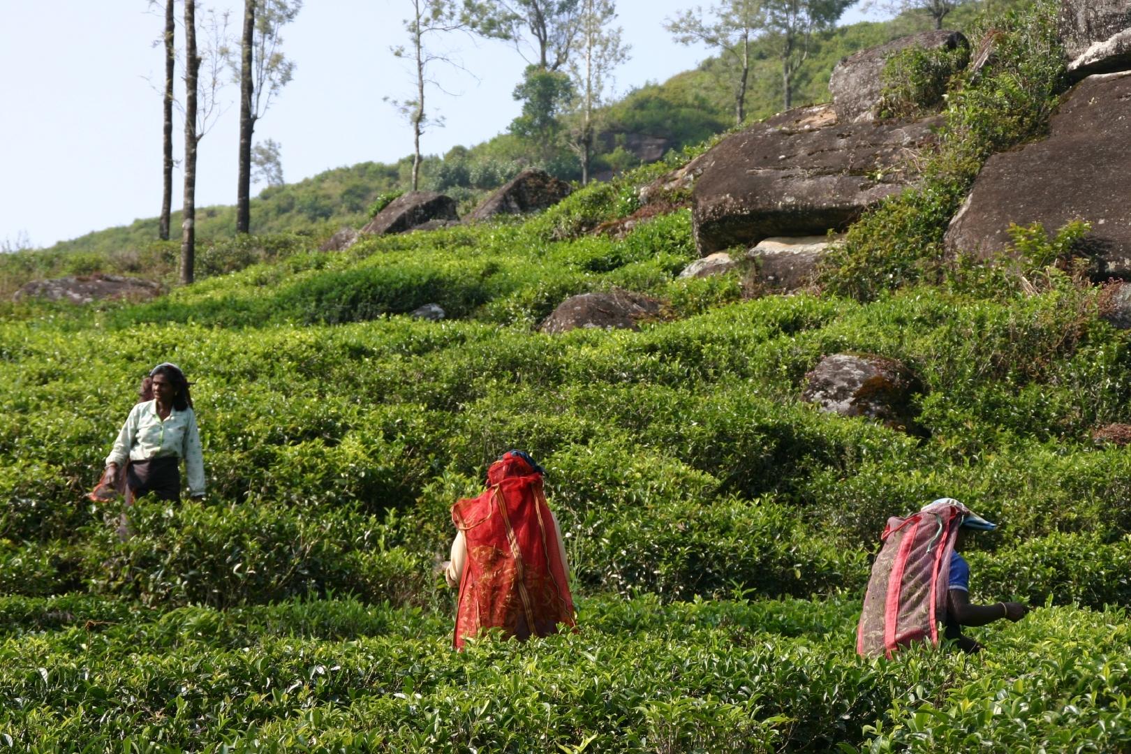 Sri Lanka plantations.