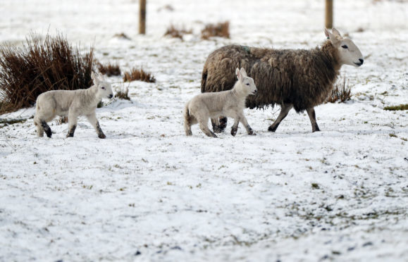 A general view of a sheep and her lambs in snow covered fields close to Nenthead, Cumbria, as forecasters have warned of treacherous driving conditions for Easter holidaymakers with snow and torrential rain on the way. PRESS ASSOCIATION Photo. Picture date: Sunday April 1, 2018. See PA story WEATHER Snow. Photo credit should read: Scott Heppell/PA Wire