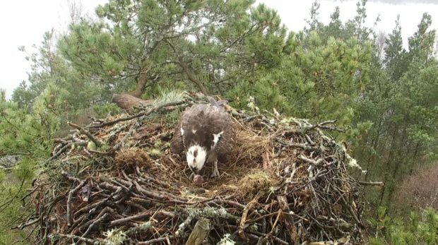 The female osprey Lassie after she had laid her first egg of  2018.