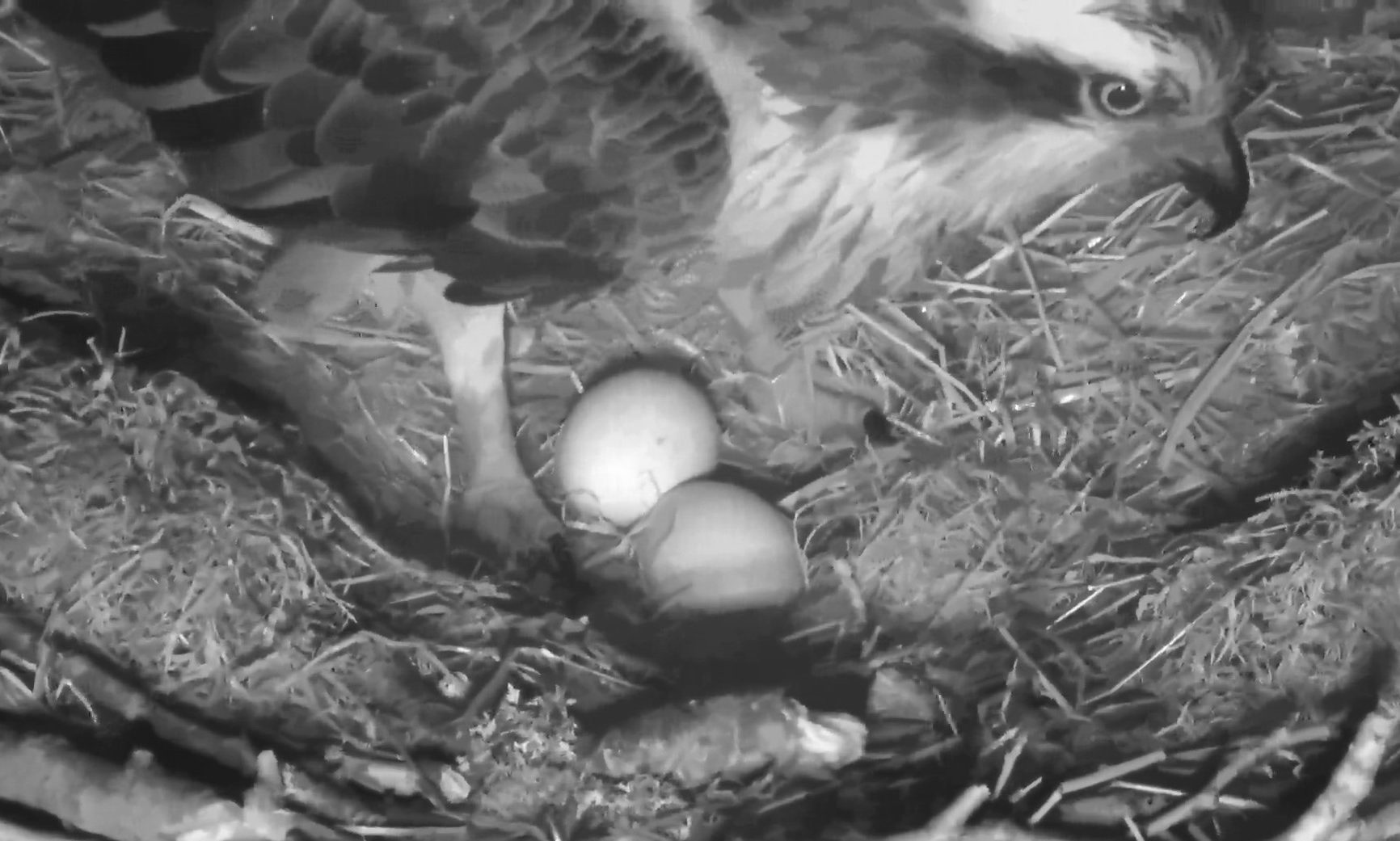 Two eggs in the nest at Loch of Lowes