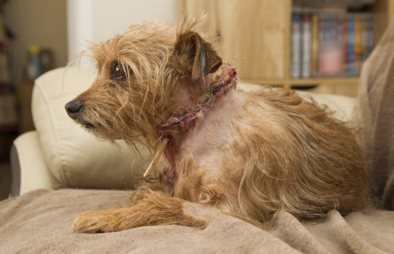 Terrier Dougal required stitches to his neck as a result of the Arbroath incident