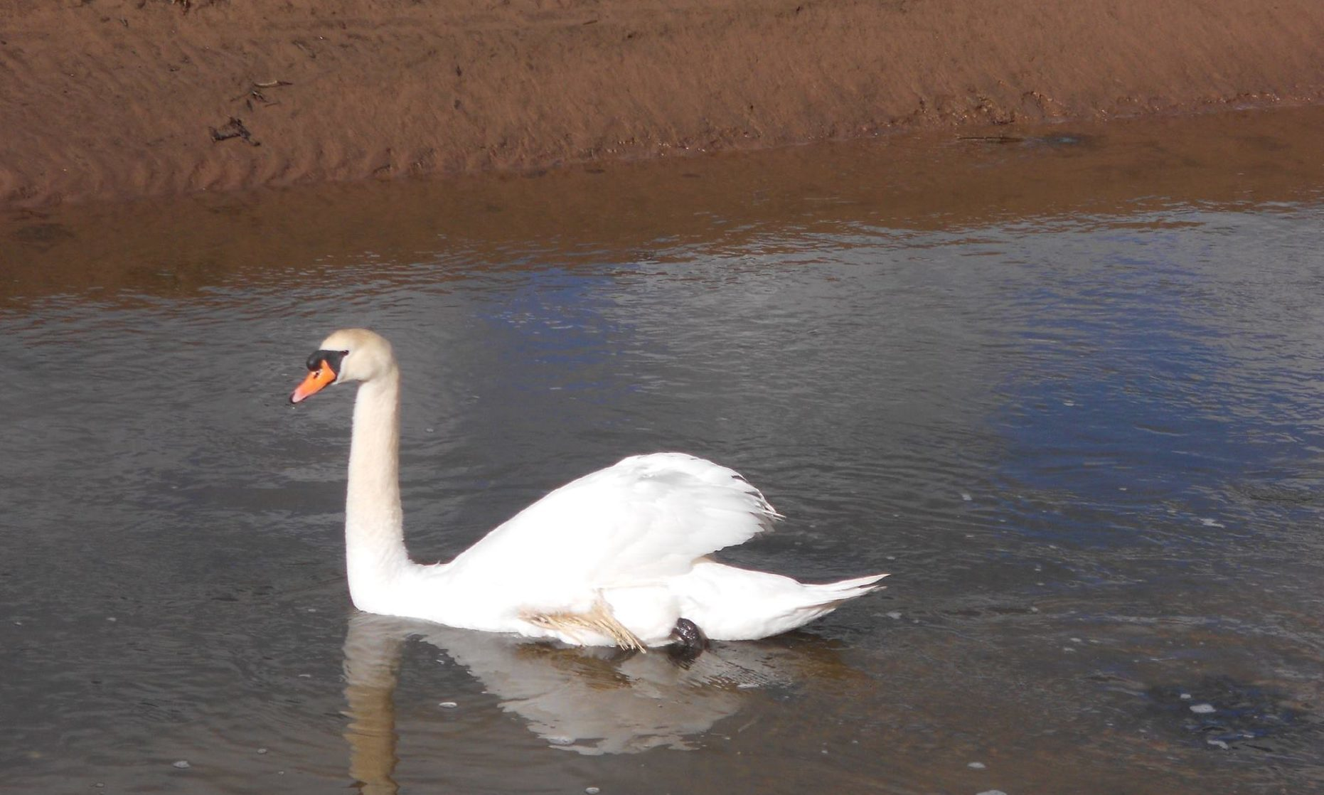 Jocky the cob mute swan who has been left with a deformed wing due to a high-carb diet. He lives in the Eden Estuary near Guardbridge.
