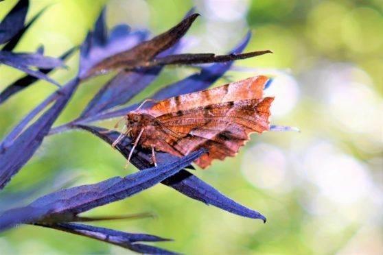 An early thorn moth. Picture: Keith Broomfield.