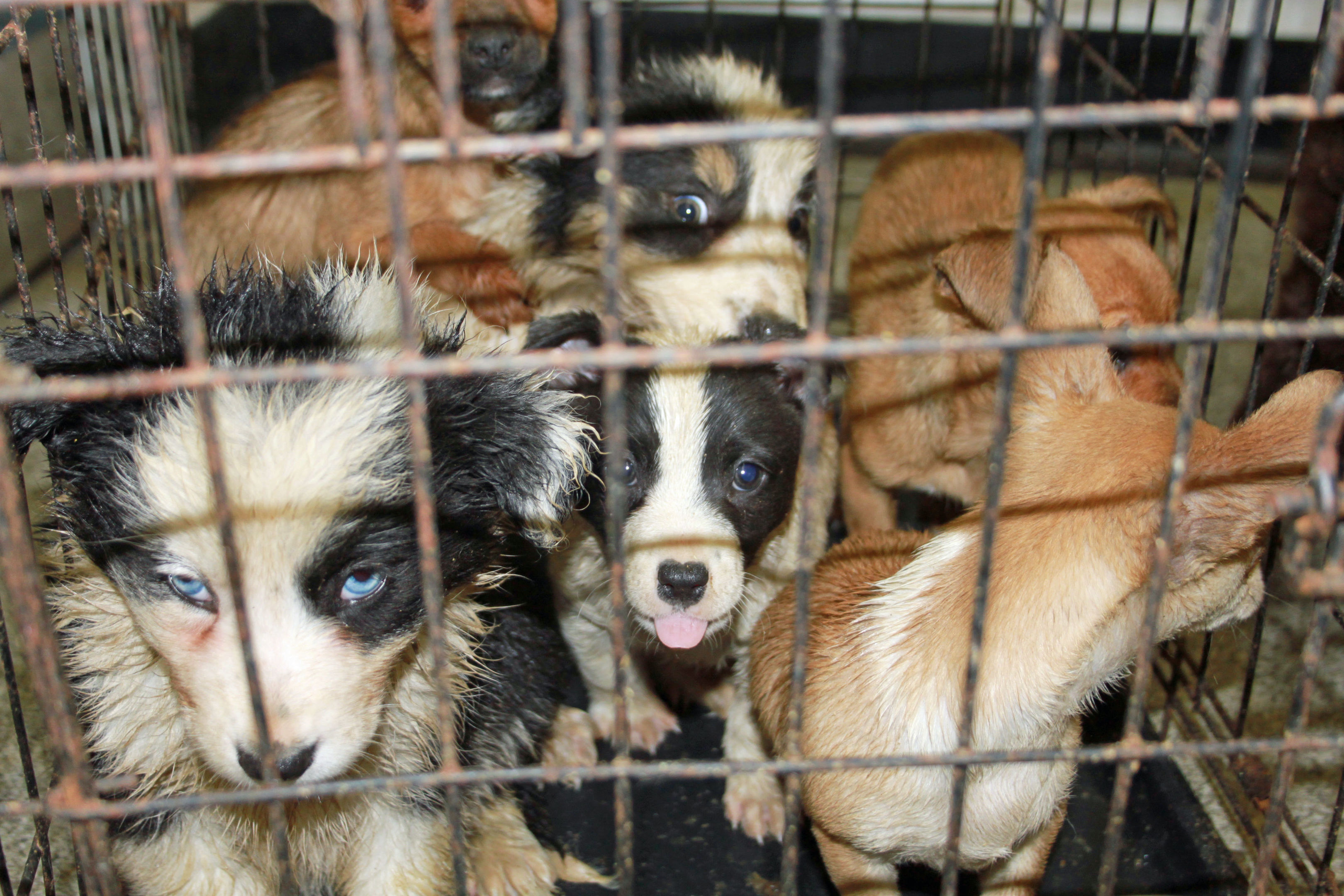 Some of the puppies that were seized by animal inspectors at Cairnryan.