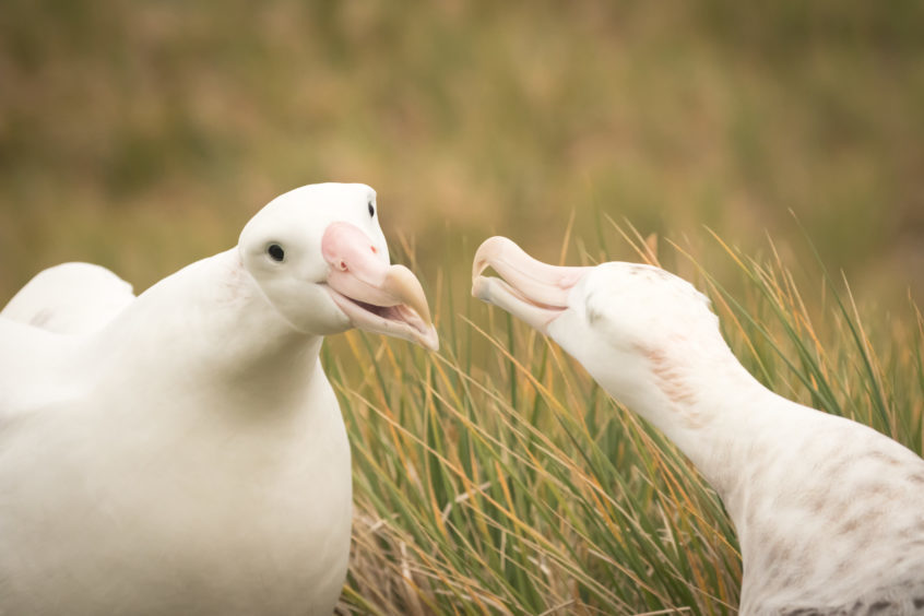 Wandering albatrosses.