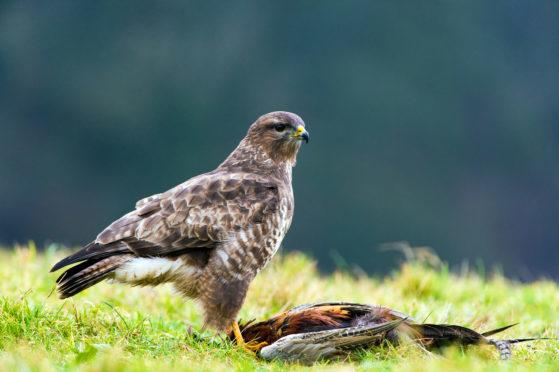 A common buzzard stood over a pheasant