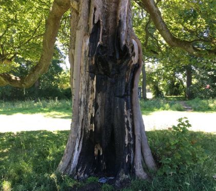 A tree in the park was badly damaged by flames from a disposable BBQ