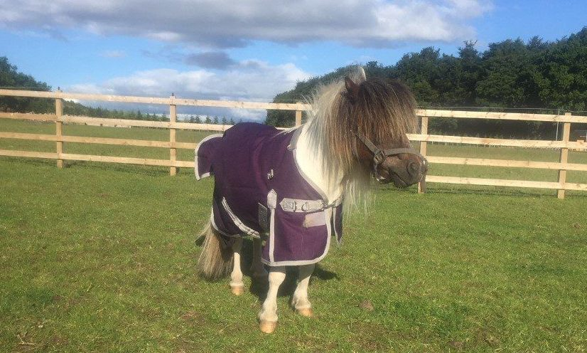Clyde the Shetland pony refuses to pose for the camera