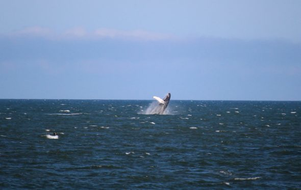 The whale spotted off St Cyrus beach last year.