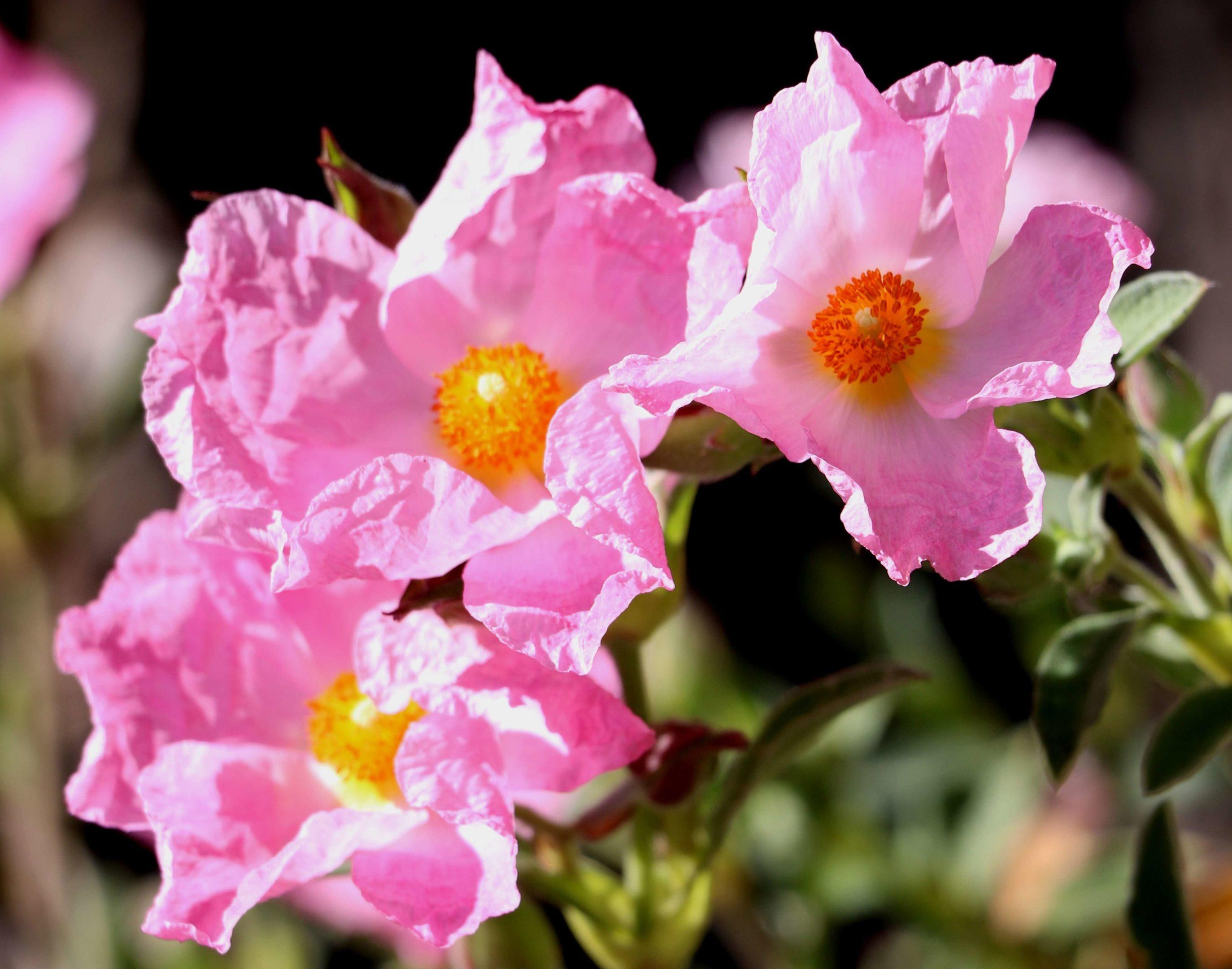 Cistus Silver Pink