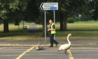 Male swan and cygnets escorted to the River Tay in Perth.