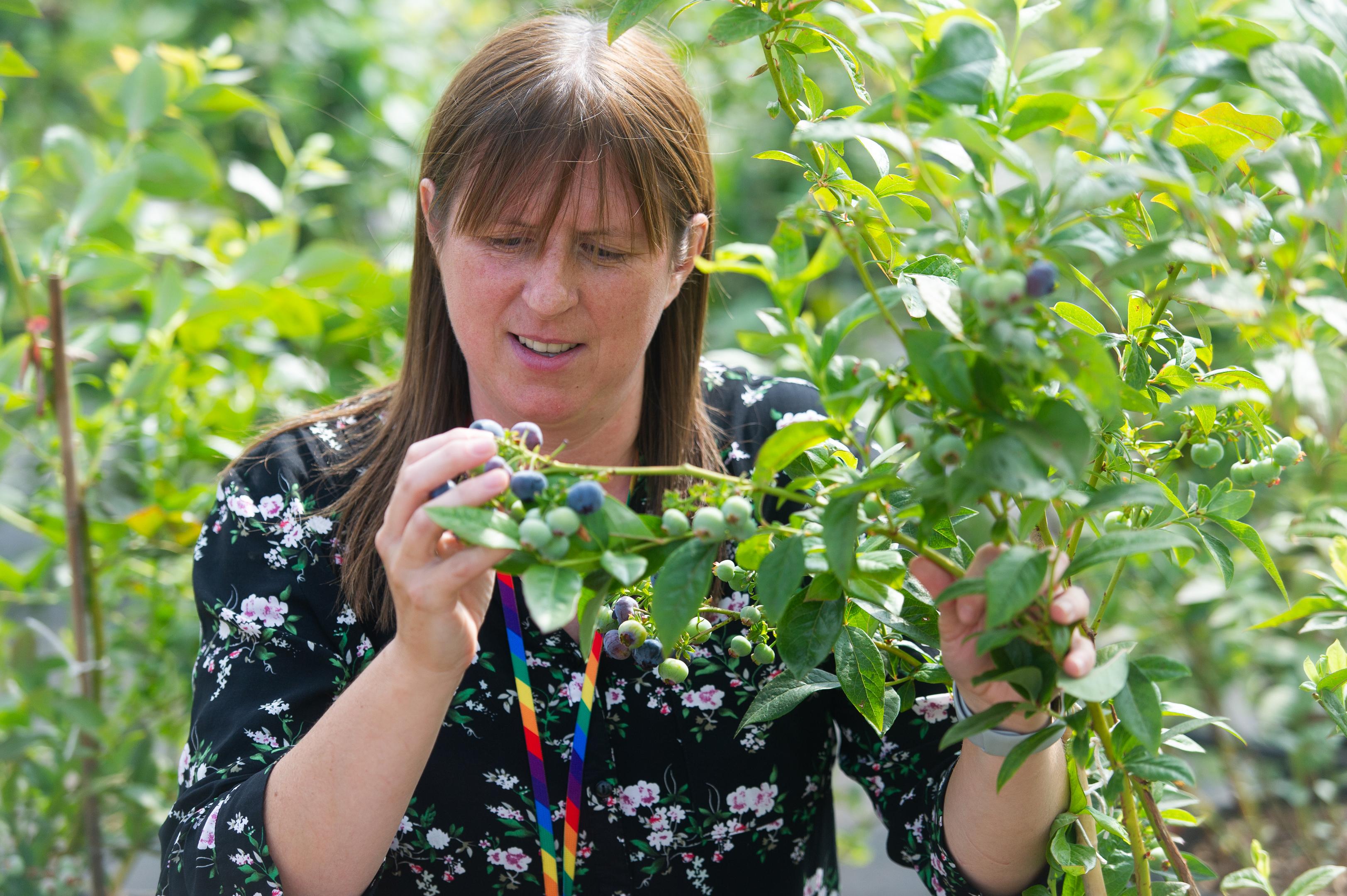 Dr Susan McCallum is crossing blueberry varieties.