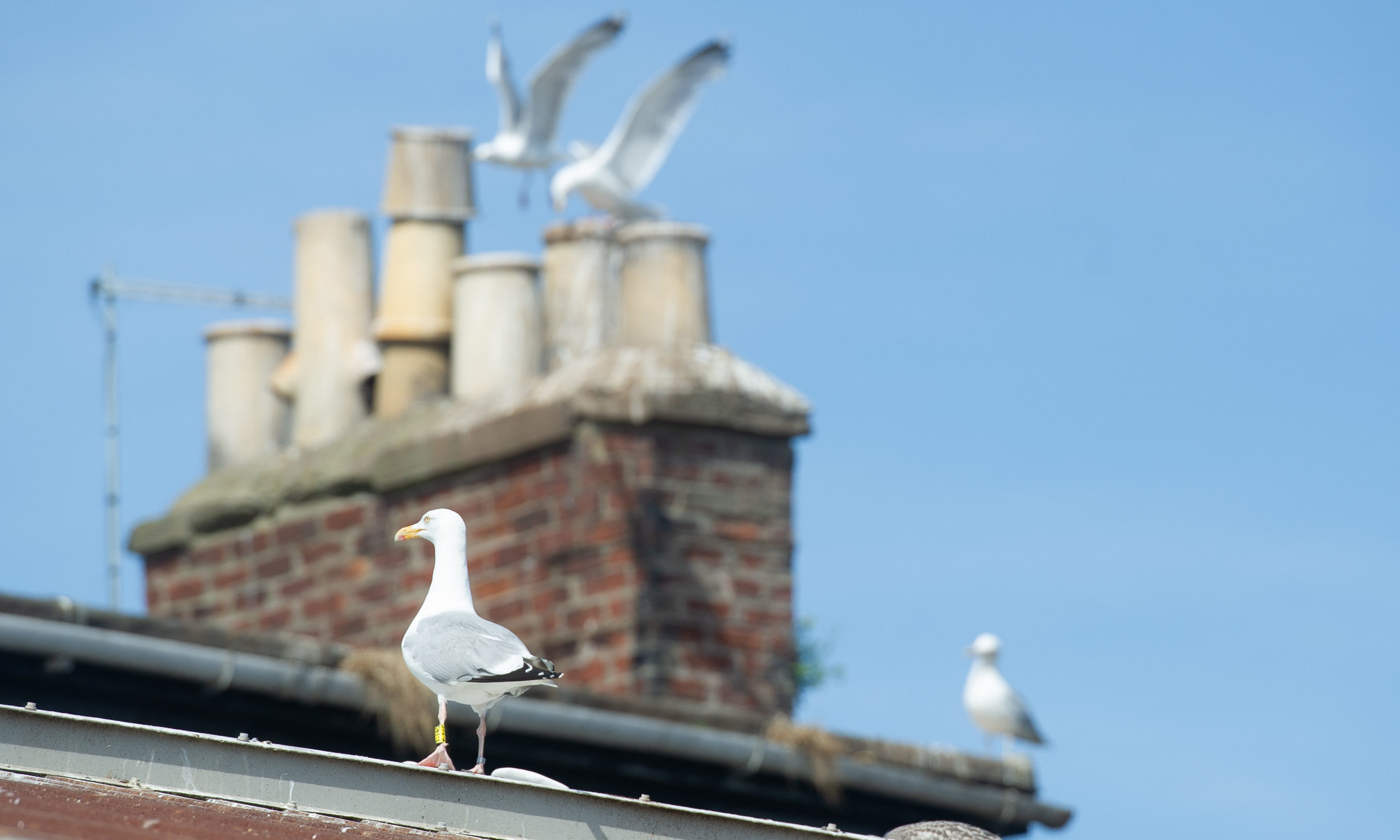 Some of the gulls who roost on roofs near Montrose Harbour.