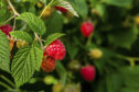 Soft fruit is in demand in a bumper season but there are too few workers to handle the harvest.
