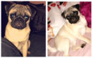 Pixie the missing pug.