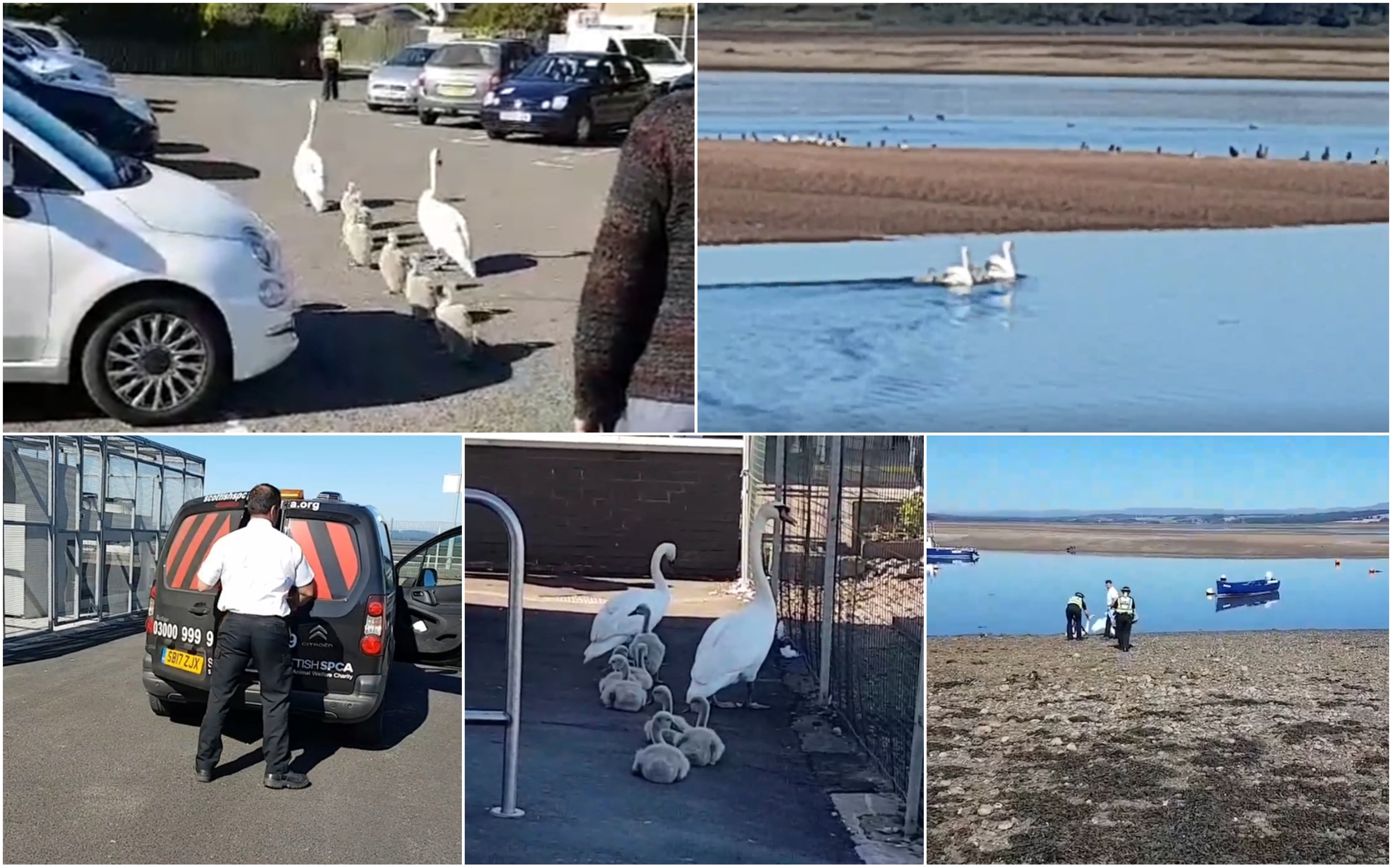 Scenes from the swans' release.