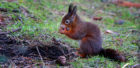 Native red squirrels can lose out to grey squirrels for food and living space