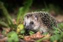 A mother hedgehog and babies were stamped to death. (library photo)
