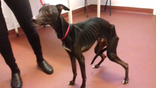 The SSPCA has released a harrowing picture of Jo-Jo the whippet after he was discovered at Robert Blackwood's home in Ballingry.