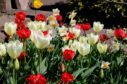 Mixed tulips and narcissi