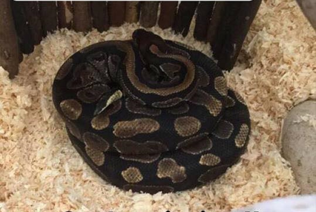 The ball python which has gone AWOL in the Seafield area of Kirkcaldy.