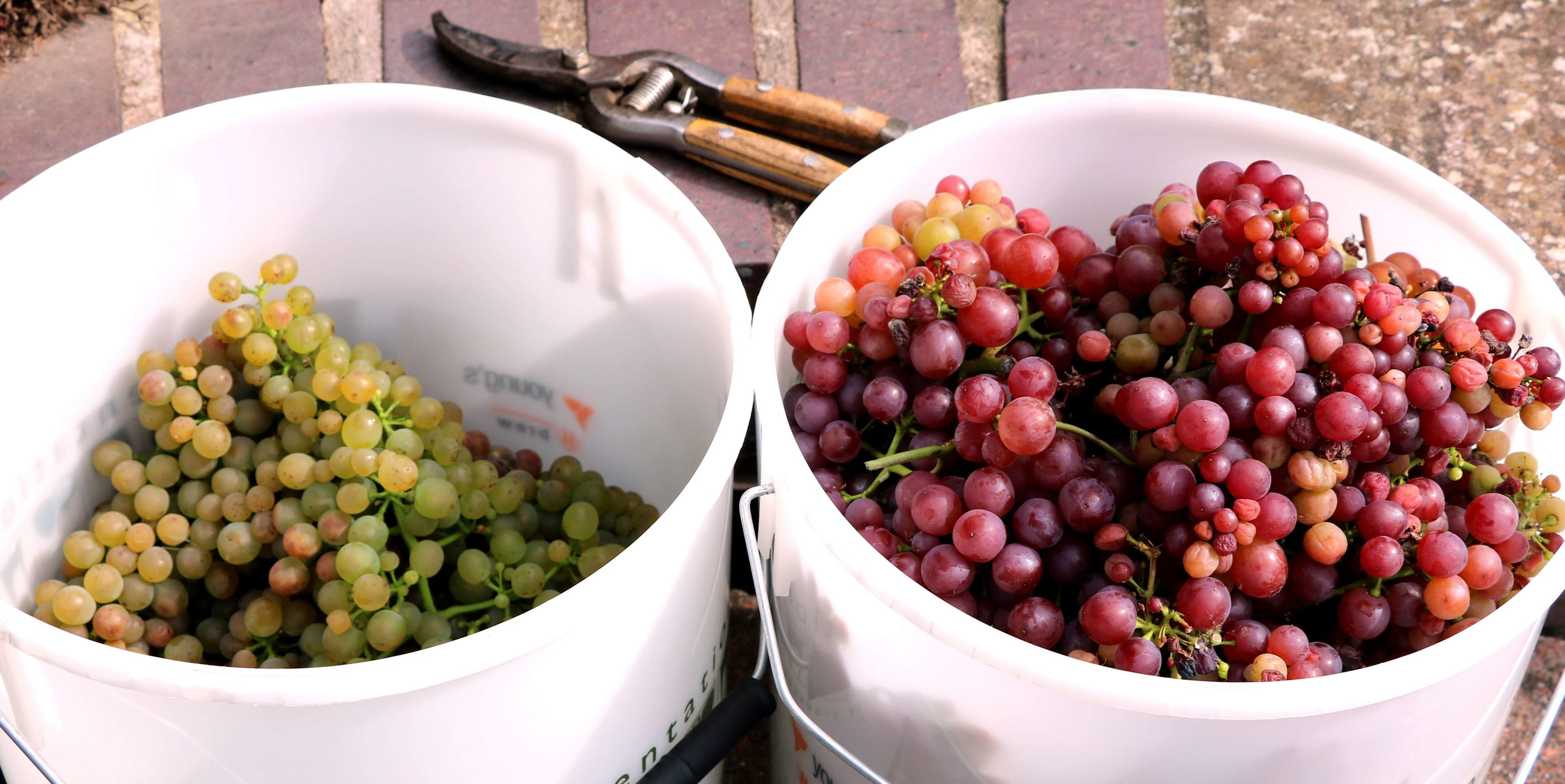 Solaris and Siegerrebe grapes harvested