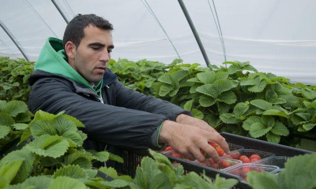 East European soft fruit picker Pimitas Dimitrov.