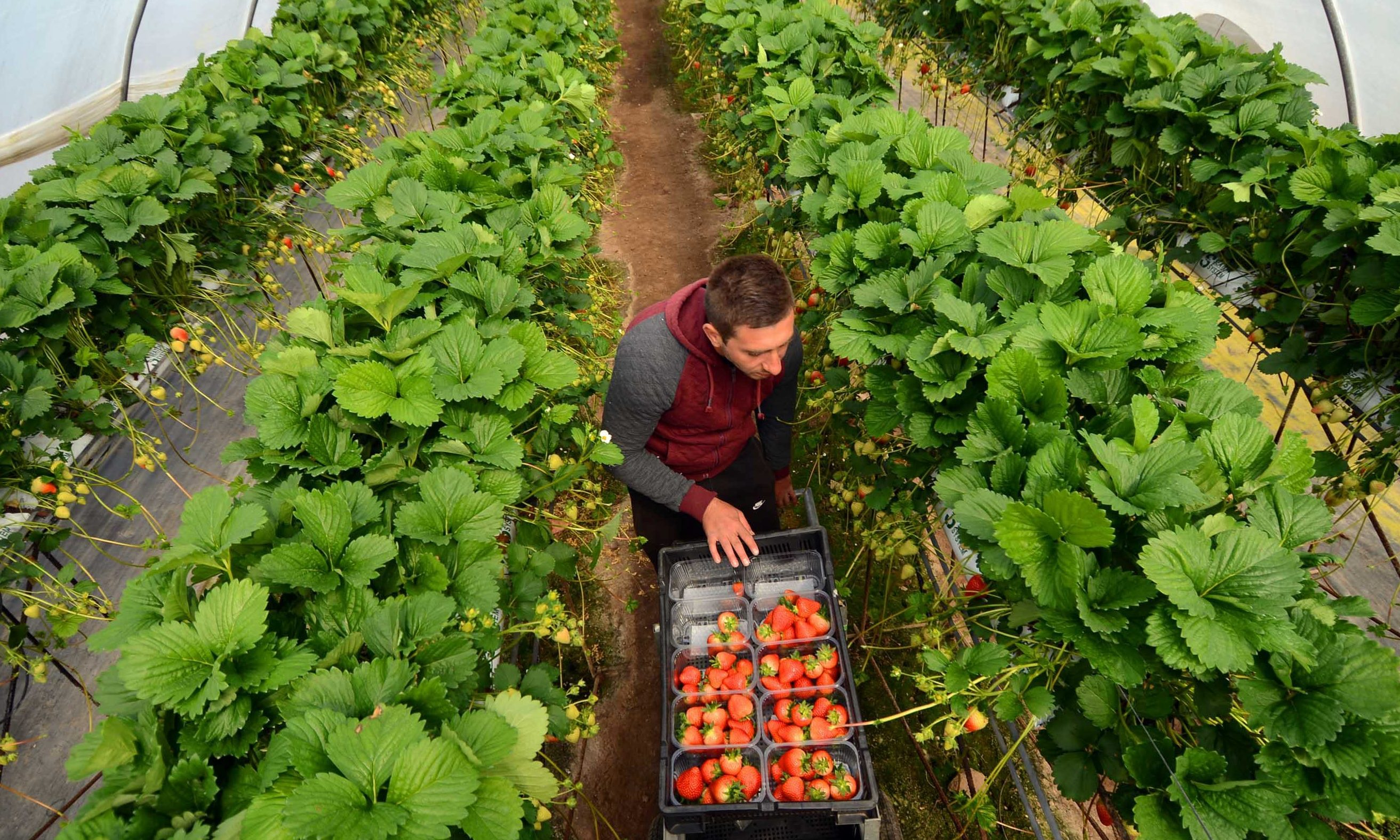 Fruit picking in Angus in previous years.