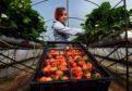 Fruit picker Patrycja Sztafit in the polytunnels at East Seaton farm near Arbroath as the strawberry season got underway in 2015